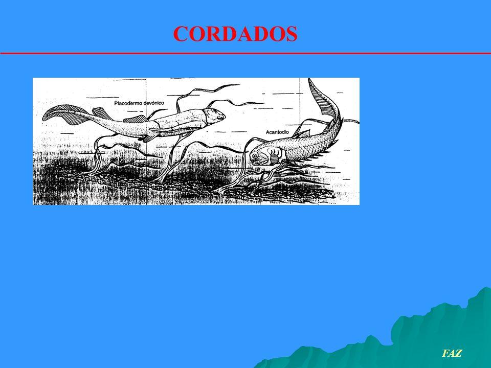 CORDADOS FAZ