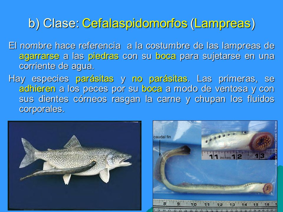 b) Clase: Cefalaspidomorfos (Lampreas)