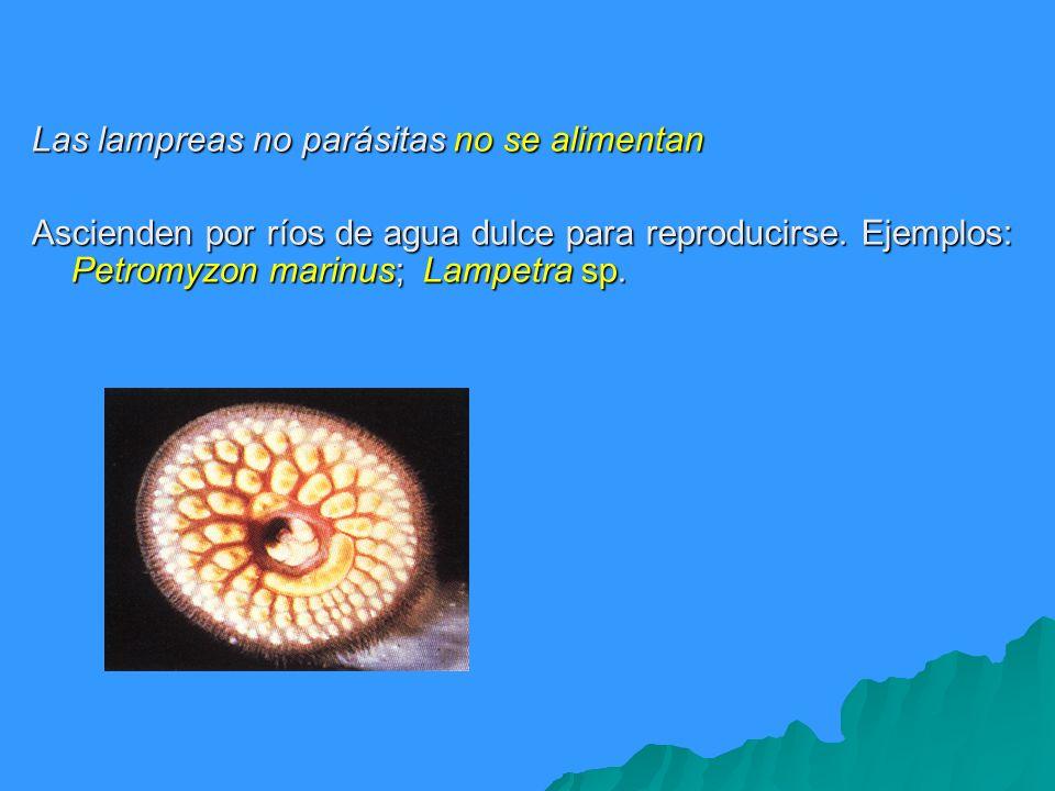 Las lampreas no parásitas no se alimentan