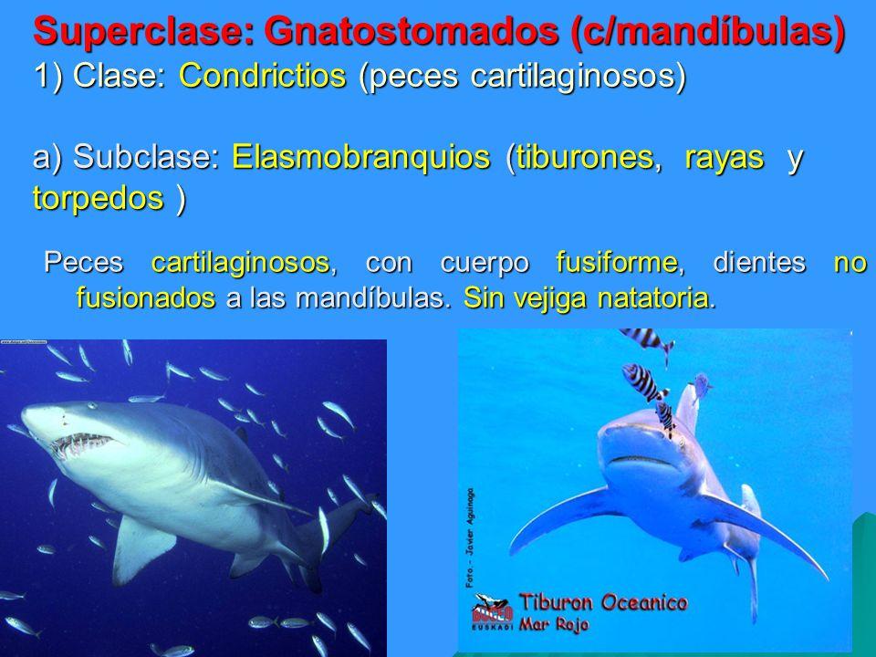 Superclase: Gnatostomados (c/mandíbulas) 1) Clase: Condrictios (peces cartilaginosos) a) Subclase: Elasmobranquios (tiburones, rayas y torpedos )