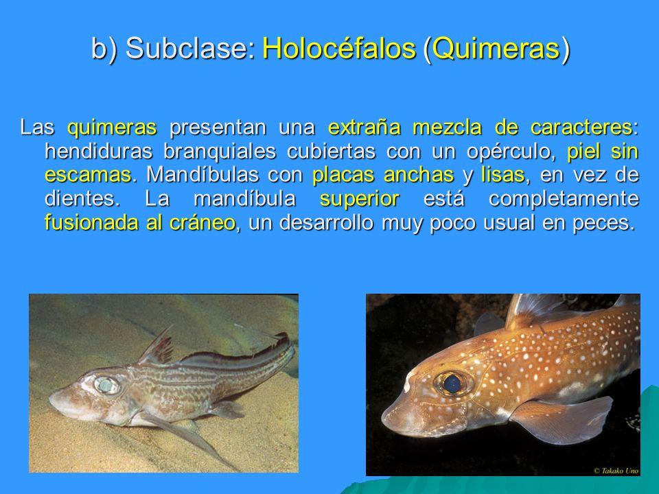 b) Subclase: Holocéfalos (Quimeras)