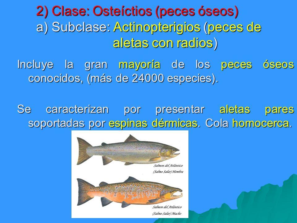 2) Clase: Osteíctios (peces óseos) a) Subclase: Actinopterigios (peces de aletas con radios)