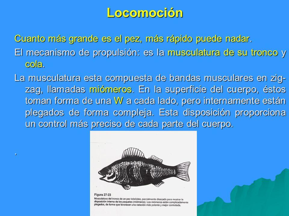 Locomoción Cuanto más grande es el pez, más rápido puede nadar.