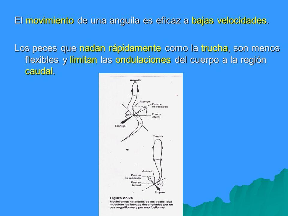 El movimiento de una anguila es eficaz a bajas velocidades.