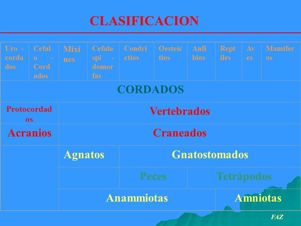 CLASIFICACION CORDADOS Vertebrados Acranios Craneados Agnatos
