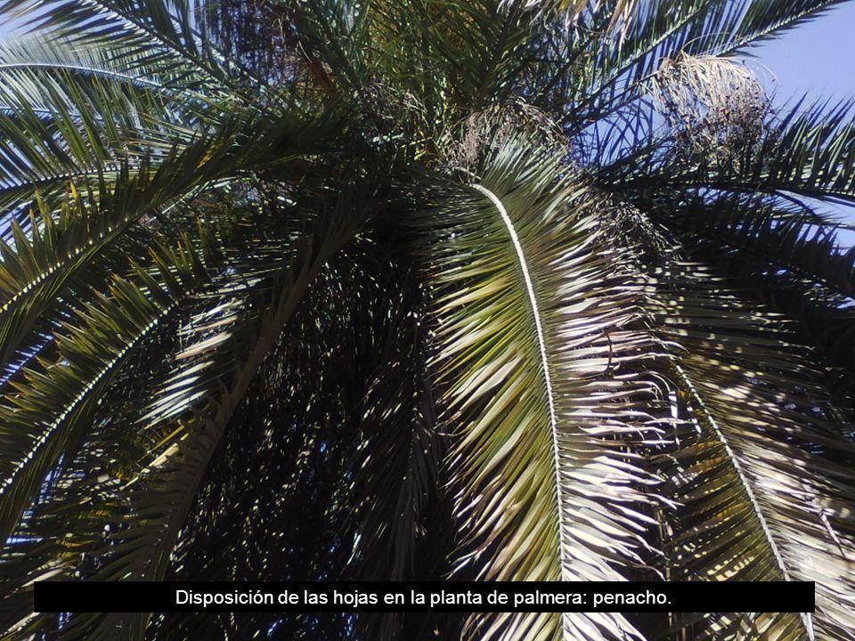 Disposición de las hojas en la planta de palmera: penacho.