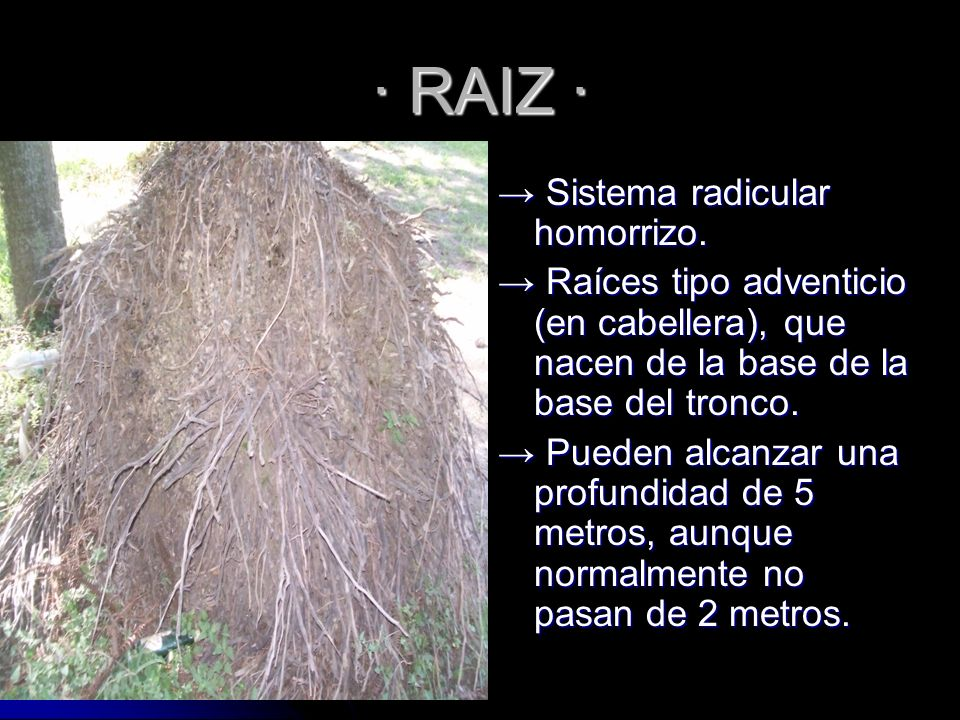 · RAIZ · → Sistema radicular homorrizo.
