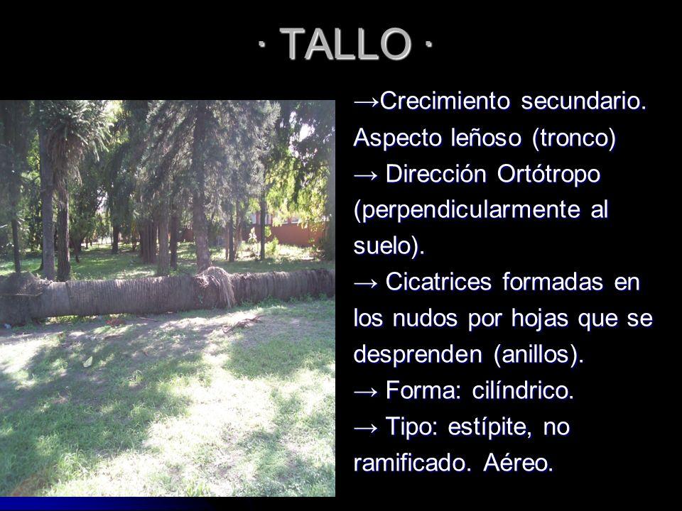 · TALLO · →Crecimiento secundario. Aspecto leñoso (tronco)