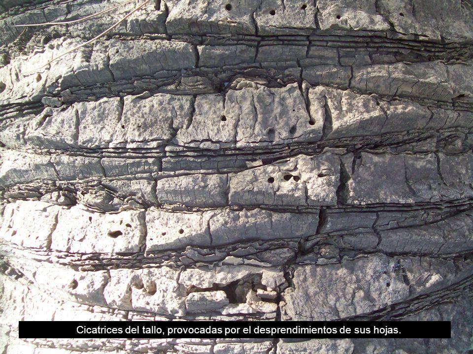Cicatrices del tallo, provocadas por el desprendimientos de sus hojas.