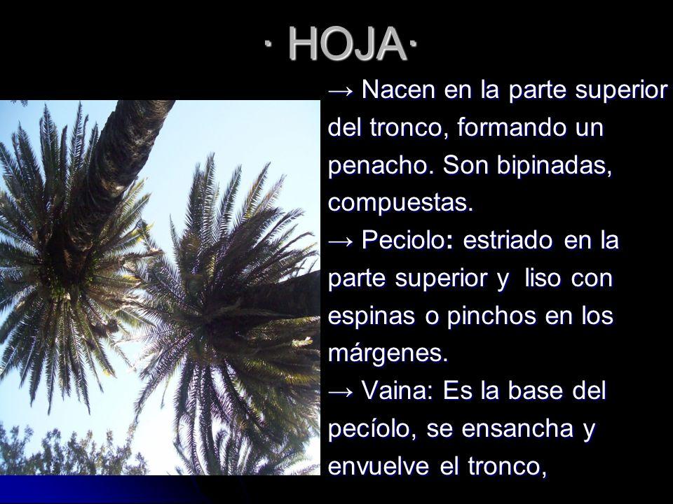 · HOJA· → Nacen en la parte superior del tronco, formando un