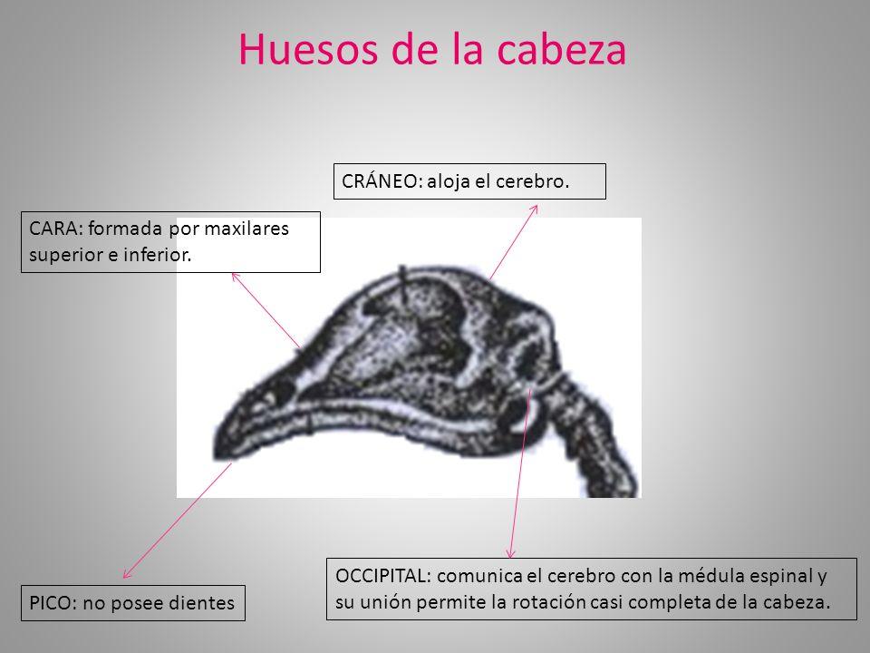 Huesos de la cabeza CRÁNEO: aloja el cerebro.