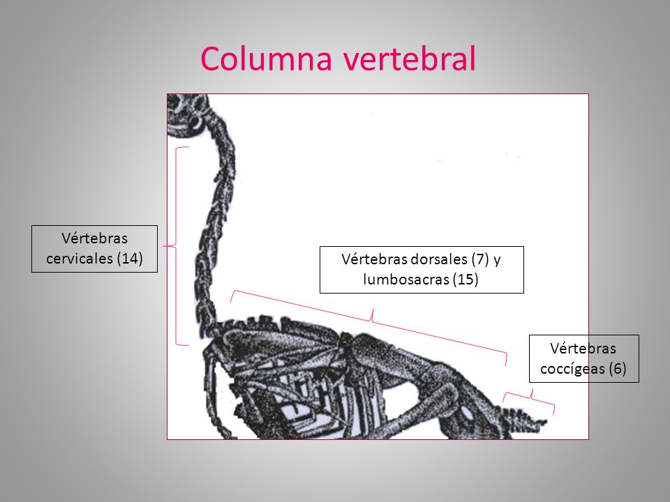 Columna vertebral Vértebras cervicales (14)
