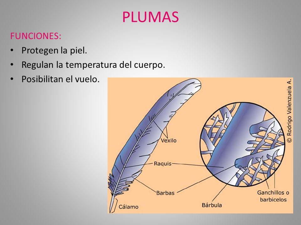 PLUMAS FUNCIONES: Protegen la piel. Regulan la temperatura del cuerpo.