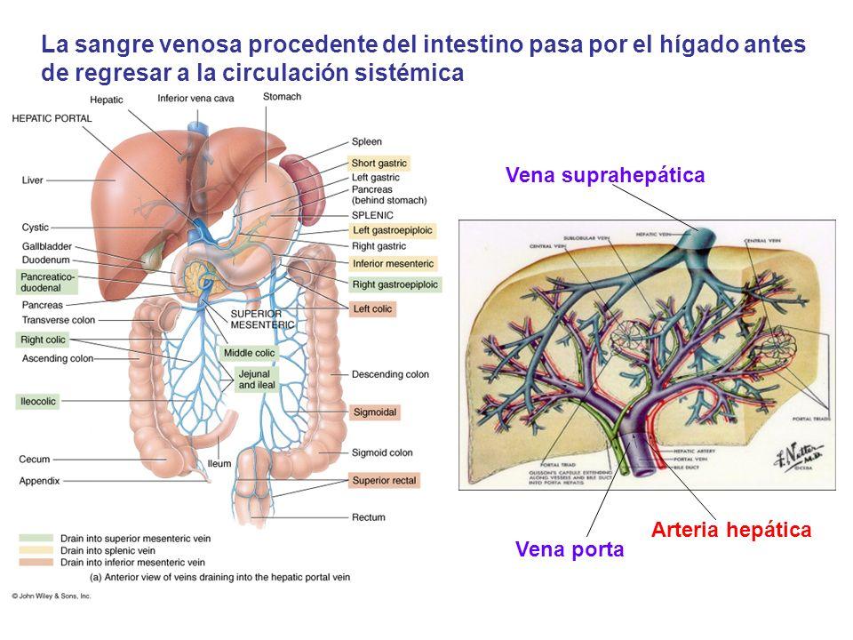 La sangre venosa procedente del intestino pasa por el hígado antes de regresar a la circulación sistémica