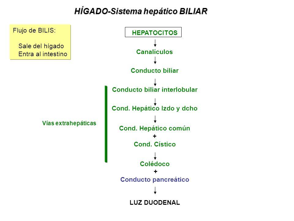 Conducto biliar interlobular Cond. Hepático Izdo y dcho