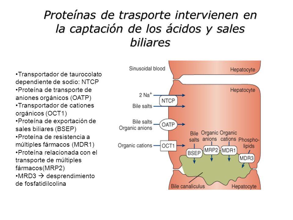 Proteínas de trasporte intervienen en la captación de los ácidos y sales biliares