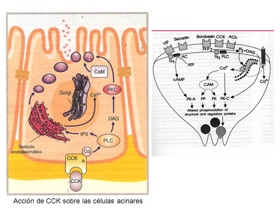 Acción de CCK sobre las células acinares