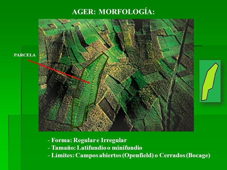 AGER: MORFOLOGÍA: - Forma: Regular e Irregular