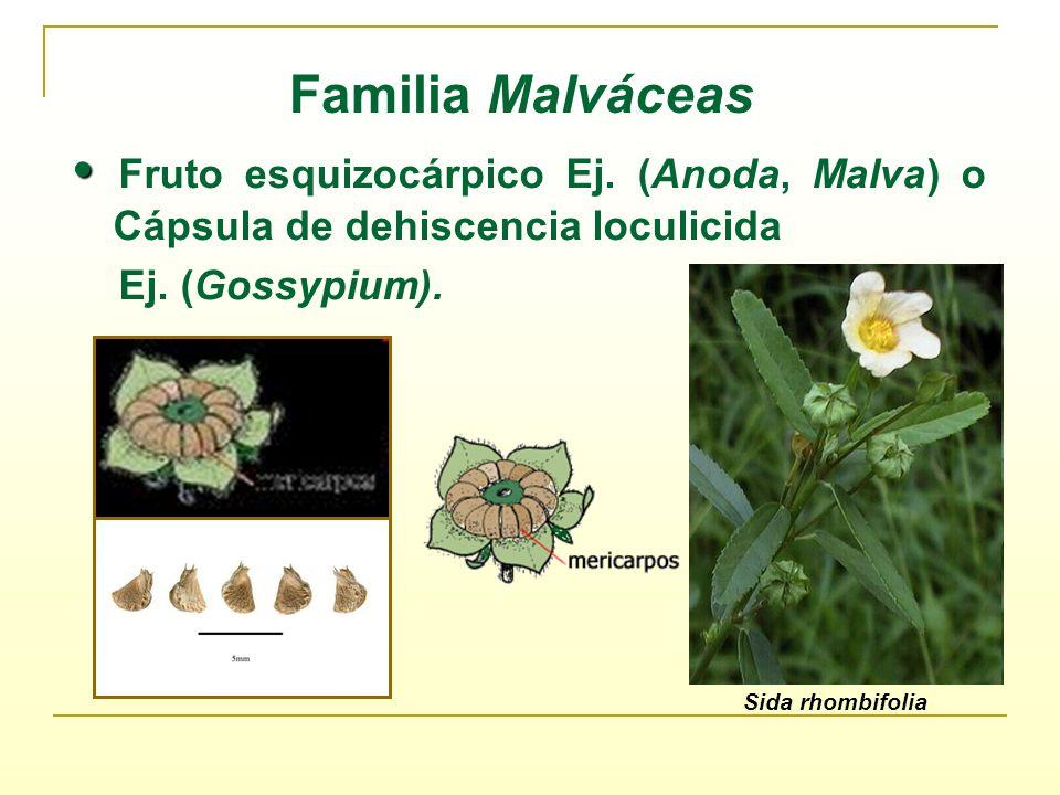 Familia Malváceas• Fruto esquizocárpico Ej. (Anoda, Malva) o Cápsula de dehiscencia loculicida. Ej. (Gossypium).