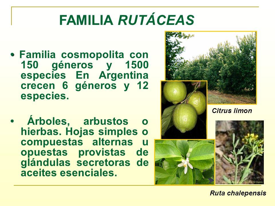 FAMILIA RUTÁCEAS • Familia cosmopolita con 150 géneros y 1500 especies En Argentina crecen 6 géneros y 12 especies.