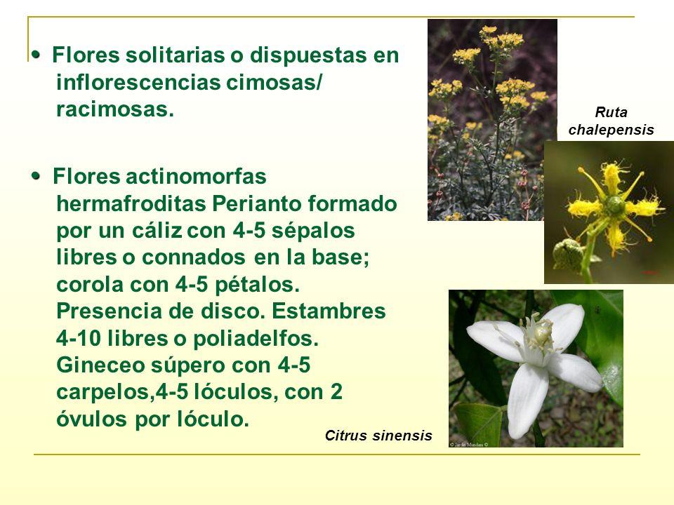 • Flores solitarias o dispuestas en inflorescencias cimosas/ racimosas.