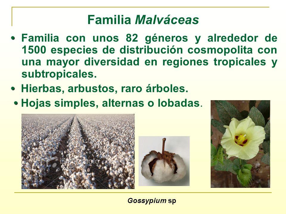 Familia Malváceas