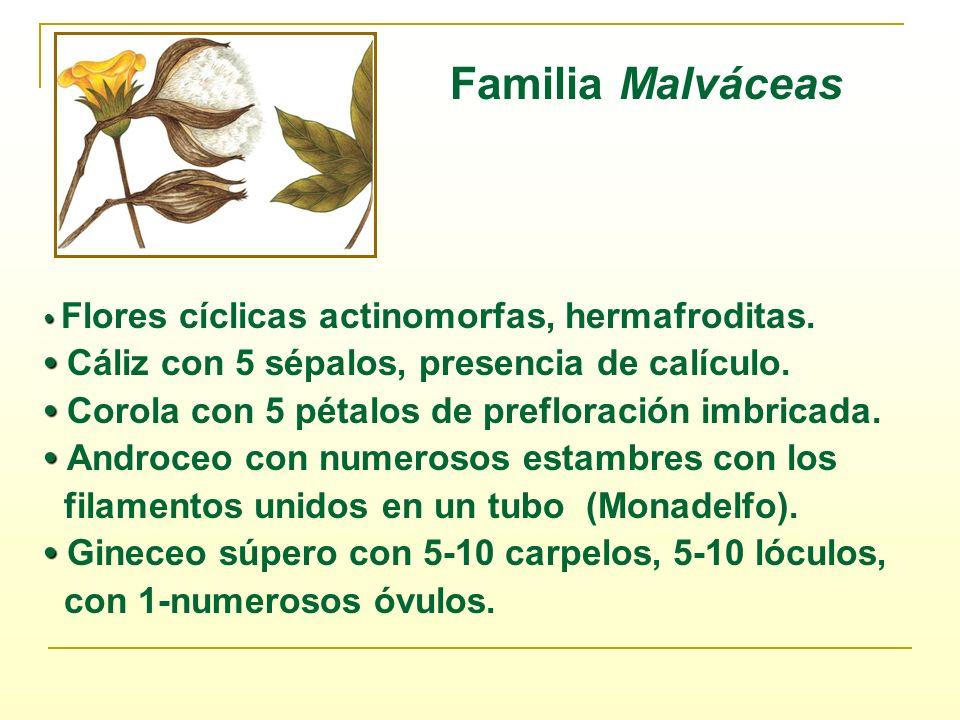 Familia Malváceas • Cáliz con 5 sépalos, presencia de calículo.