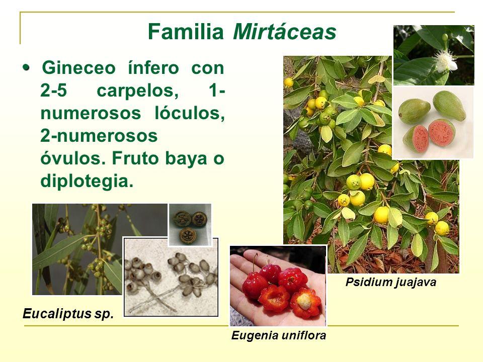 Familia Mirtáceas • Gineceo ínfero con 2-5 carpelos, 1-numerosos lóculos, 2-numerosos óvulos. Fruto baya o diplotegia.