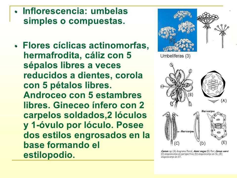 • Inflorescencia: umbelas simples o compuestas.