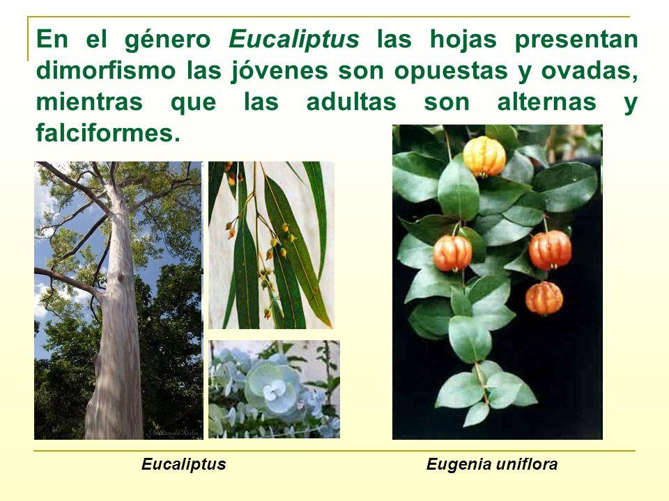 En el género Eucaliptus las hojas presentan dimorfismo las jóvenes son opuestas y ovadas, mientras que las adultas son alternas y falciformes.