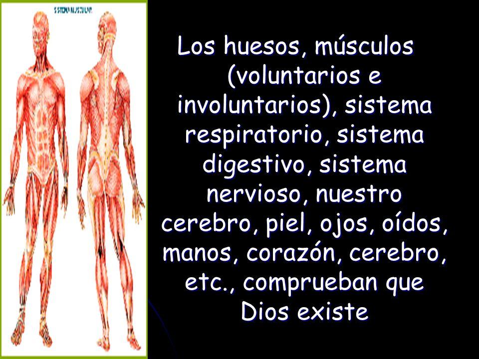 Los huesos, músculos (voluntarios e involuntarios), sistema respiratorio, sistema digestivo, sistema nervioso, nuestro cerebro, piel, ojos, oídos, manos, corazón, cerebro, etc., comprueban que Dios existe