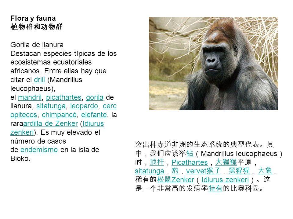 Flora y fauna 植物群和动物群. Gorila de llanura.