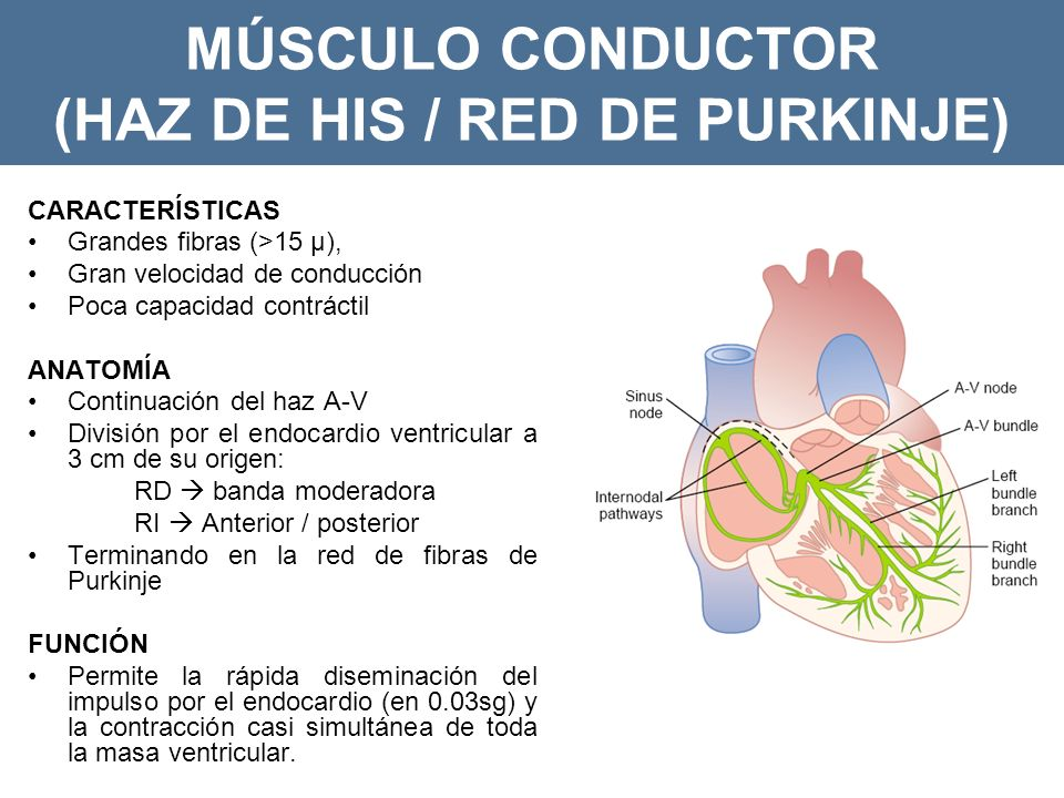 MÚSCULO CONDUCTOR (HAZ DE HIS / RED DE PURKINJE)