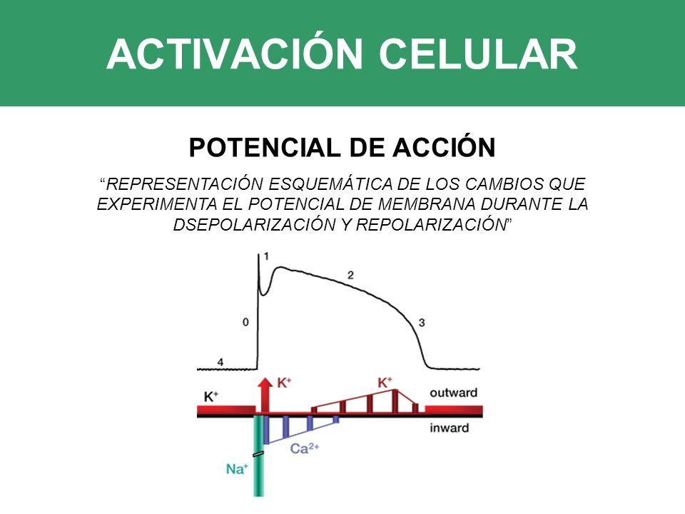 ACTIVACIÓN CELULAR POTENCIAL DE ACCIÓN