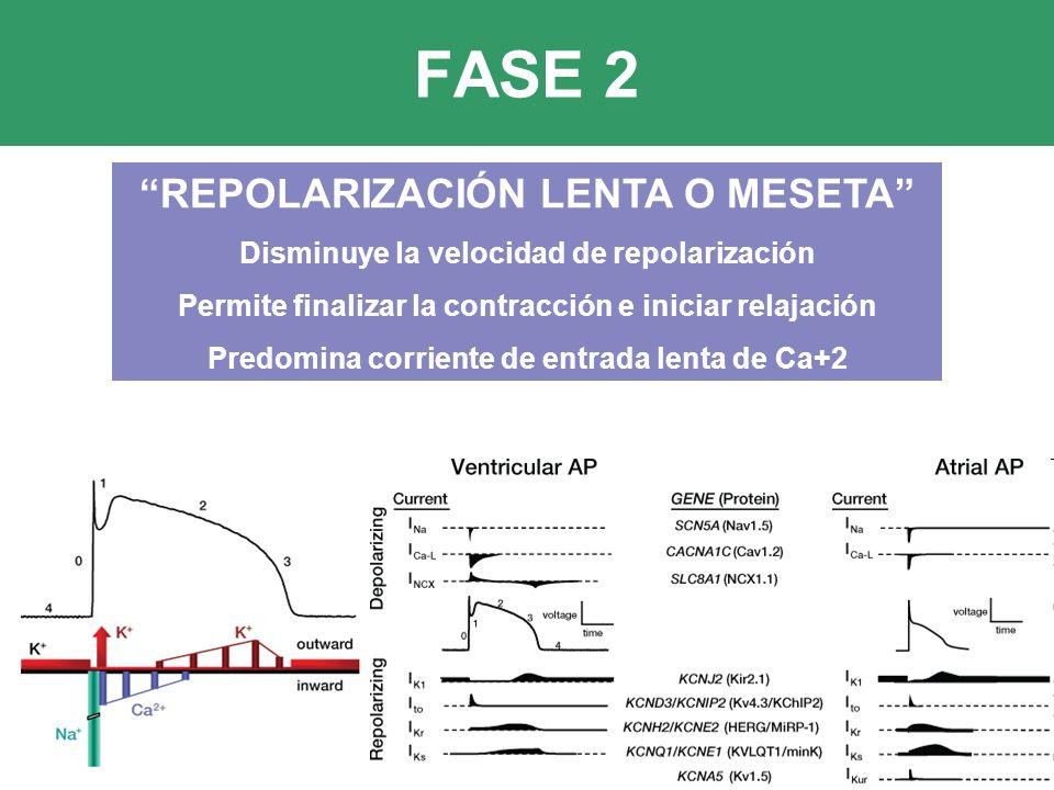 FASE 2 REPOLARIZACIÓN LENTA O MESETA