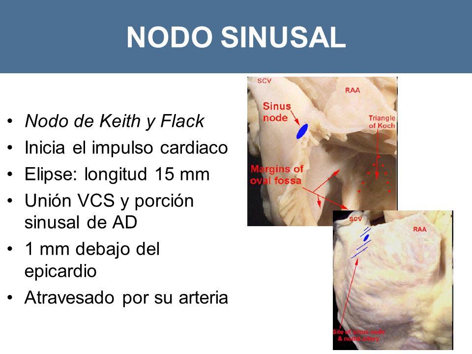 NODO SINUSAL Nodo de Keith y Flack Inicia el impulso cardiaco