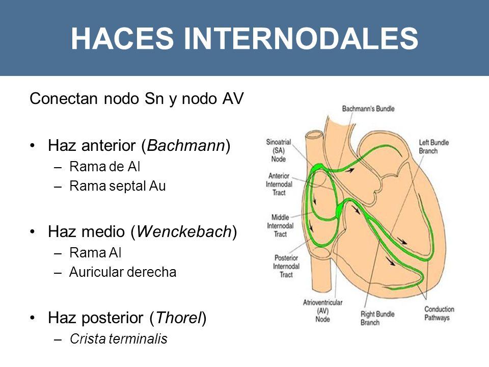 HACES INTERNODALES Conectan nodo Sn y nodo AV Haz anterior (Bachmann)