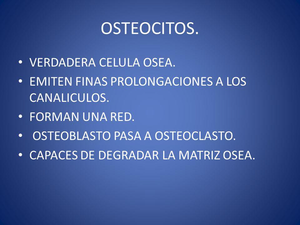 OSTEOCITOS. VERDADERA CELULA OSEA.