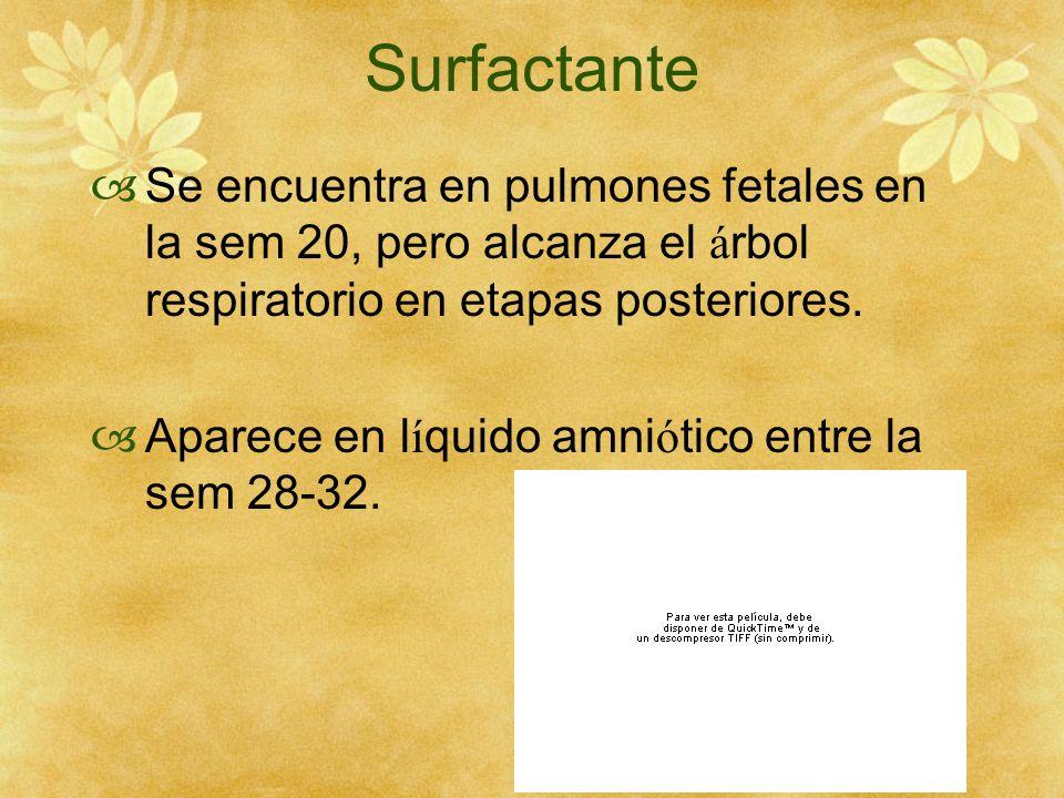 Surfactante Se encuentra en pulmones fetales en la sem 20, pero alcanza el árbol respiratorio en etapas posteriores.