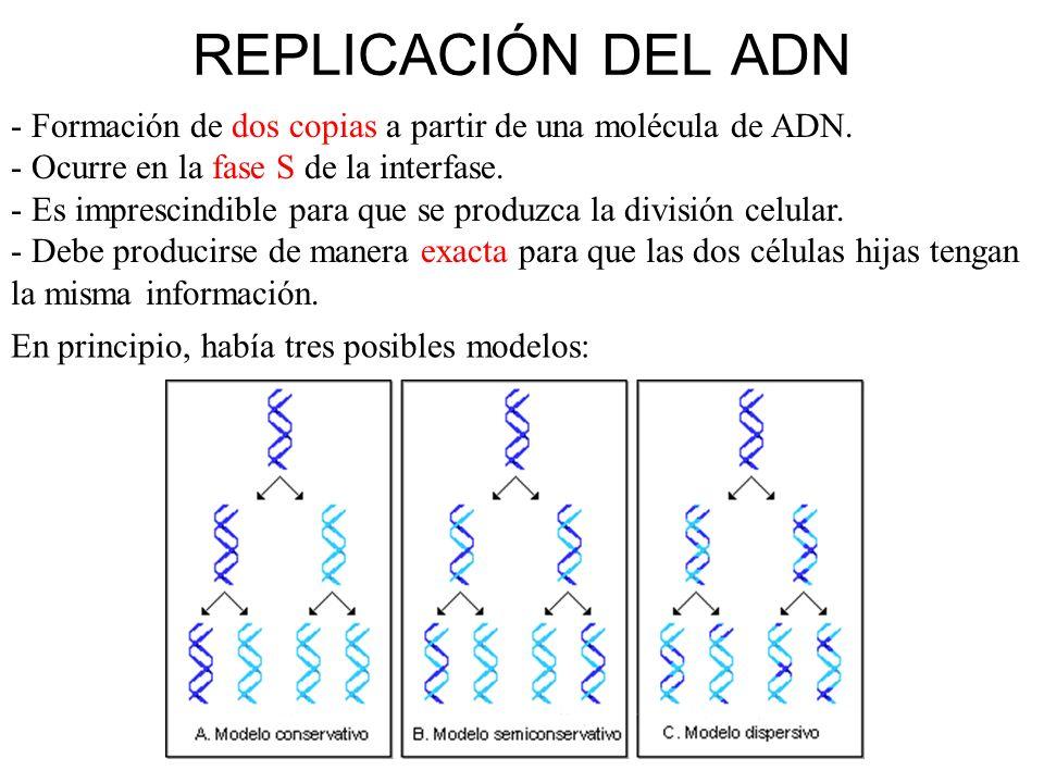 REPLICACIÓN DEL ADN - Formación de dos copias a partir de una molécula de ADN. - Ocurre en la fase S de la interfase.