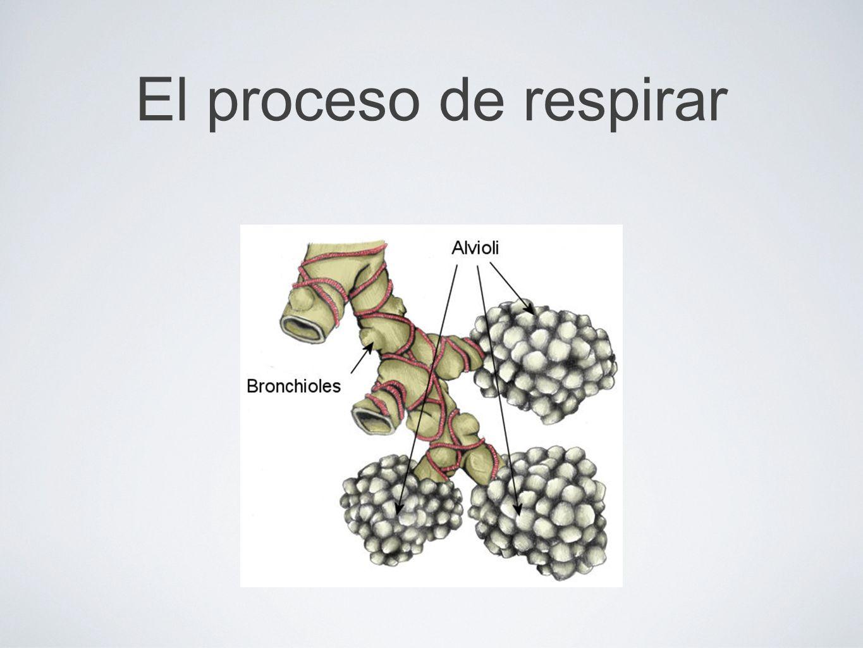 El proceso de respirar (Diagram) Alveolares Bronquiolos