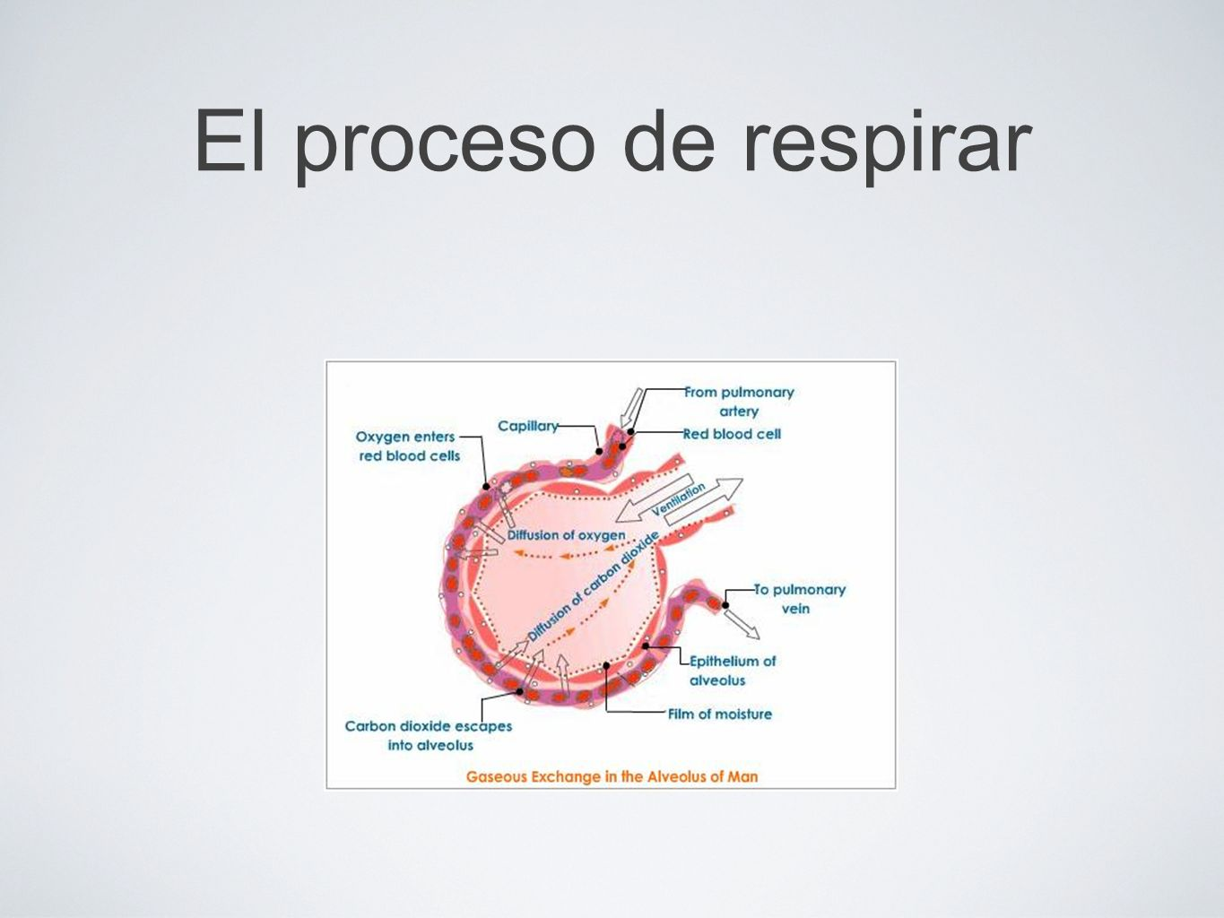 El proceso de respirar (Diagram) Left side: Capilar