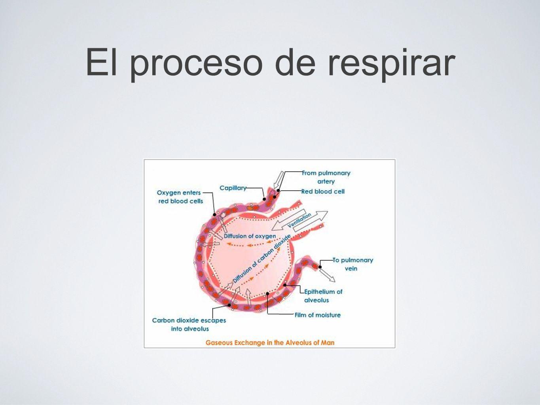 El proceso de respirar (Diagram) Left side: Capilar