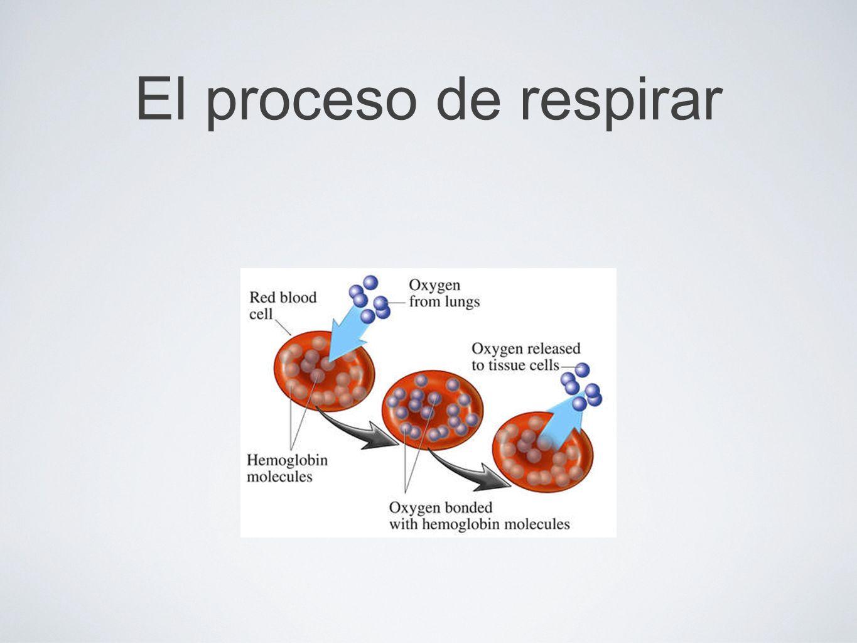 El proceso de respirar Top: Glóbulos rojos Oxígeno de los pulmones