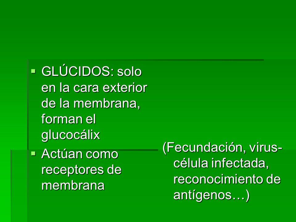 GLÚCIDOS: solo en la cara exterior de la membrana, forman el glucocálix