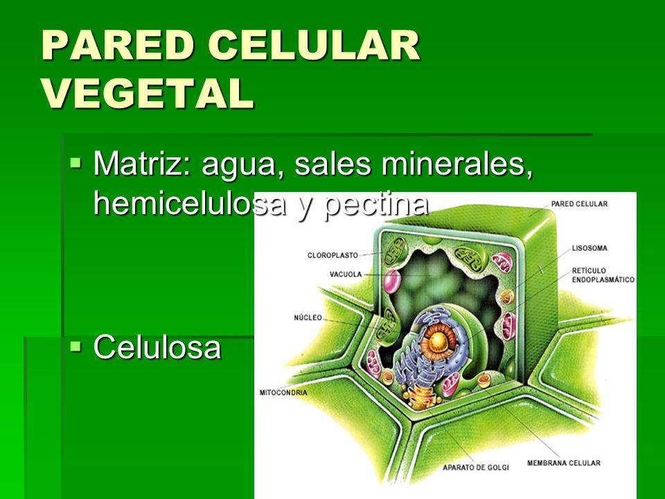 PARED CELULAR VEGETAL Matriz: agua, sales minerales, hemicelulosa y pectina Celulosa