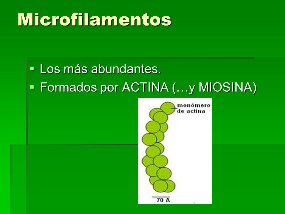 Microfilamentos Los más abundantes. Formados por ACTINA (…y MIOSINA)