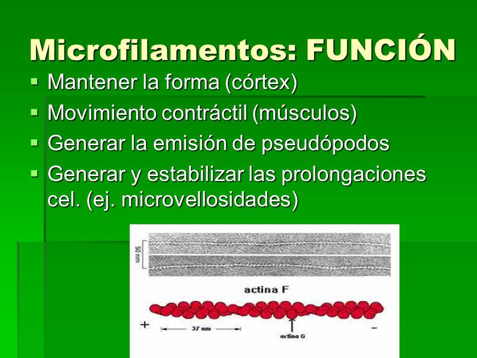 Microfilamentos: FUNCIÓN