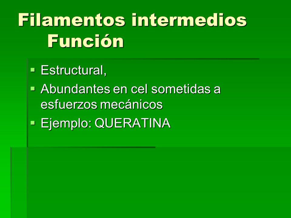 Filamentos intermedios Función