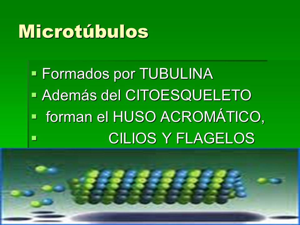 Microtúbulos Formados por TUBULINA Además del CITOESQUELETO